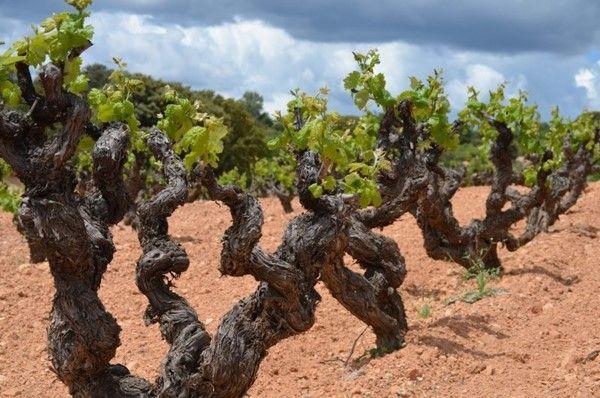 Vine strain